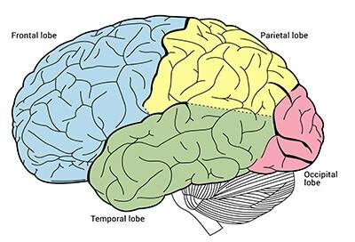 Diagram Structure Cerebral Cortex Stock Illustration ... |Cerebral Cortex Structure