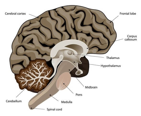 The Unbelievable Structure & Function of Brain Parts in Humans