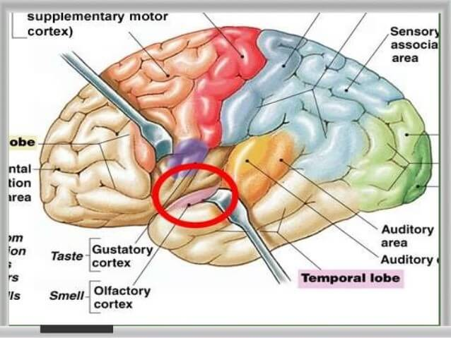 Functional Areas of the Brain and Their Astonishing ...