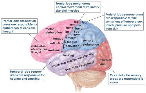 Cerebral Cortex Lobes And Functions